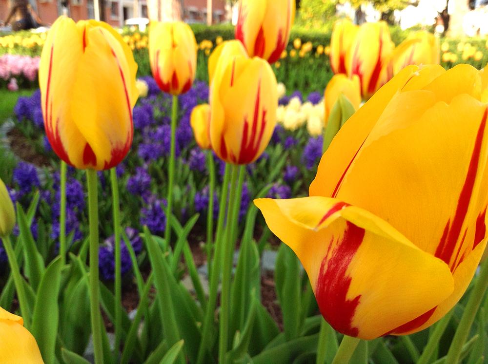gul_tulipan