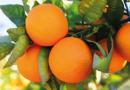 Turkey´s amazing orange oranges