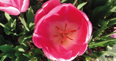 The tulip: Turkey's national flower