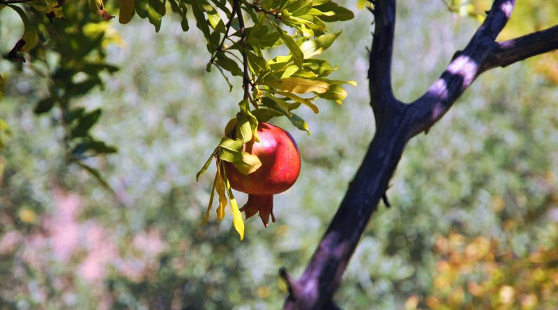 Because of its special centre (the multitude of little seeds), the pomegranate is a symbol for abundance, fertility and immortality.